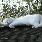 Cat on a hot fiberglass roof