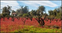 Catalonia | olive grove |