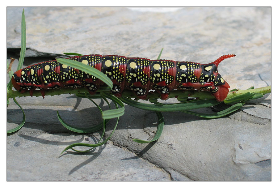 Caterpillar in red