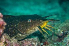 Catfish (Paraplotosus sp.)