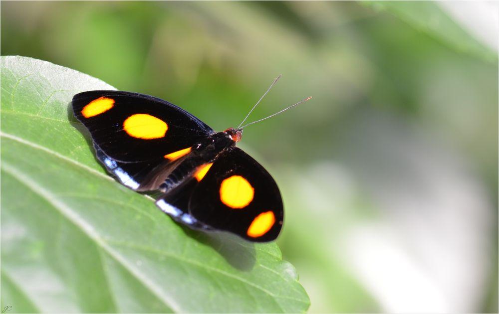 Catonephele numilia