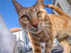 Cats from Madeira #2