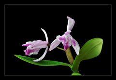 Cattleya dingsbums