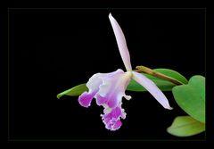 Cattleya jenmanii coerulea x intermedia