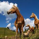 Cavalli Avelignesi - Haflinger Pferde