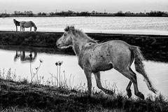 Cavalli delle valli di Comacchio (bn)