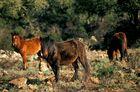 Cavalli selvatici - Giara di Gesturi e Tuili - Sardegna