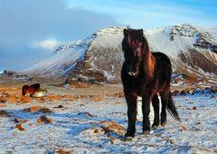 Cavallini islandesi