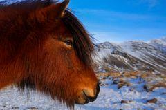 cavallini islandesi (2)
