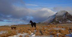 cavallini islandesi (3)