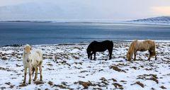 Cavallini islandesi (5)