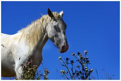 cavallo celeste.....