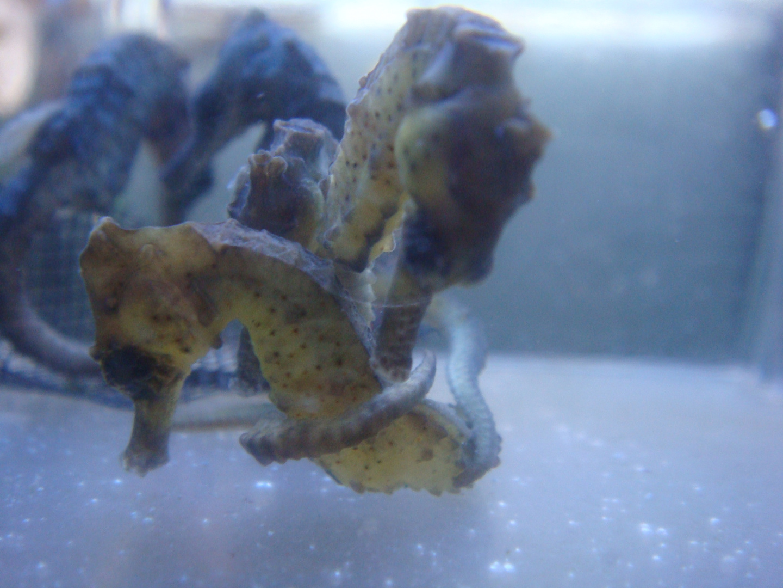 Cavallucci marini