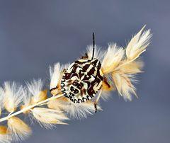 Ce n'est qu'une simple punaise à pattes rouges..! * Purpur-Fruchtwanze (Carpocoris purpureipennis).