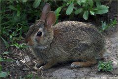 """""""ce sont les lapins qui ont été étonnés......!""""dit A Daudet"""