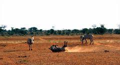 ¿Cebras o Zebras?