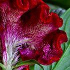Celosie (Hahnenkamm Blume) 2