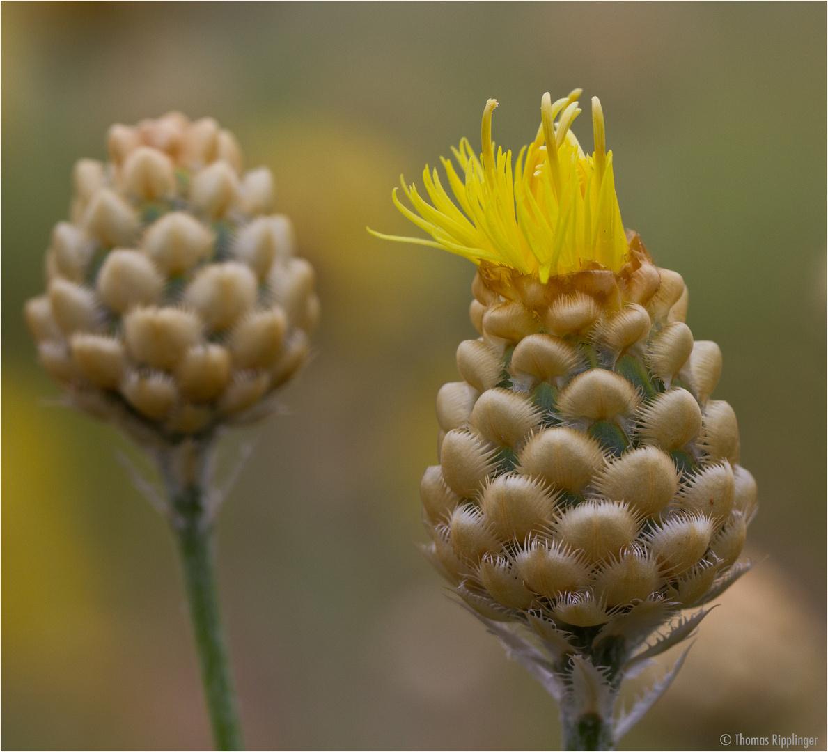 Centaurea orientalis (Orient-Flockenblume).