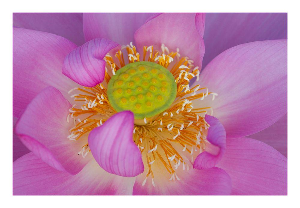Center of flower