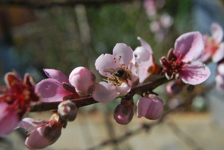 Cerejeira em Flor em Campos do Jordão