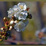 Cerezo en flor 6