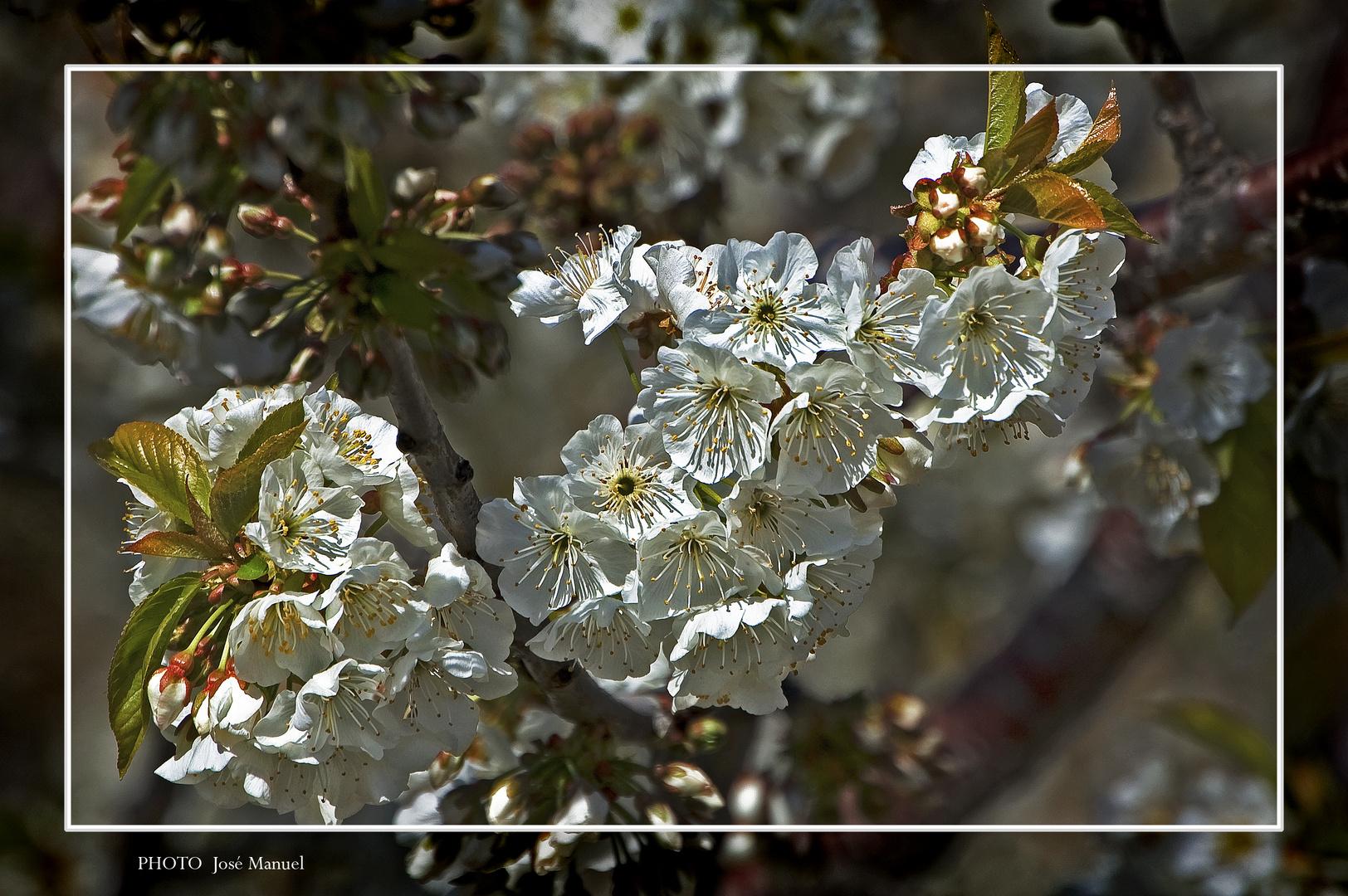 Cerezo en flor 7