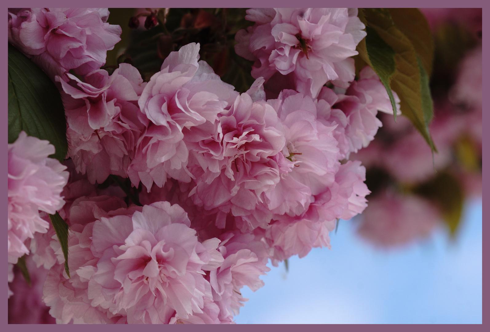 Cerisier a fleur