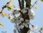Cerisier du voisin
