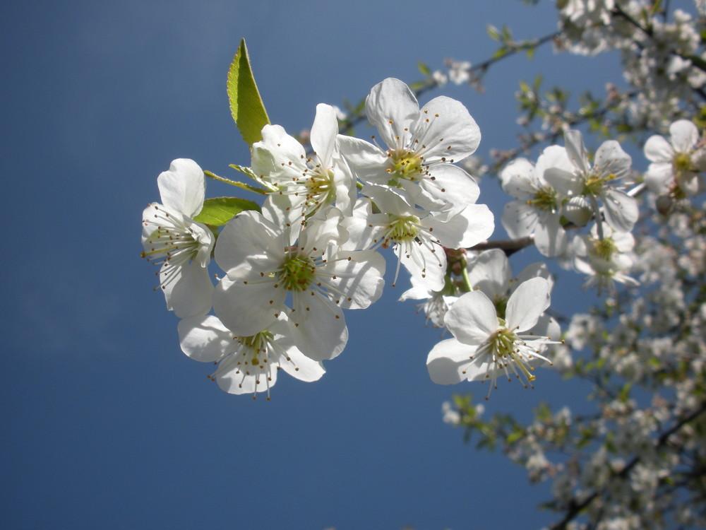 Cerisier en fleur.