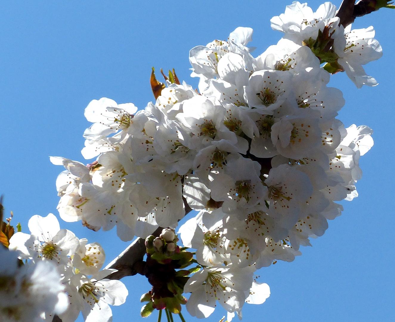Cerisier en fleurs.