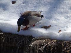..Certains jours, il faisait un froid de canard à Briançon..
