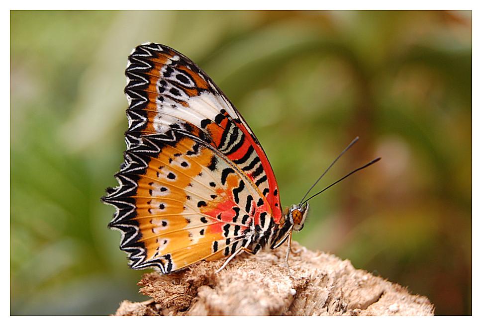 Cethosia-Schmetterling