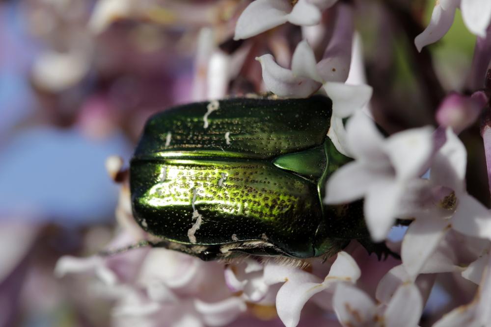 Cetonia aurata (green rose chafer)