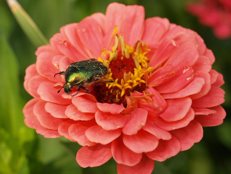 Cetonia aurata und Blumen