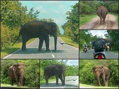 Ceylon Elefanten