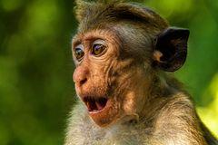 Ceylon-Hutaffe (Toque Macaque, Macaca sinica), endemische Art, nur in Sri Lanka zu finden
