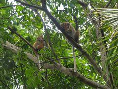 Ceylon Hutaffen