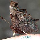 C.Falter