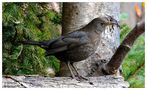 --- Amsel-Lady --- ( Turdus merula ) von Wolfgang Zerbst - Naturfoto