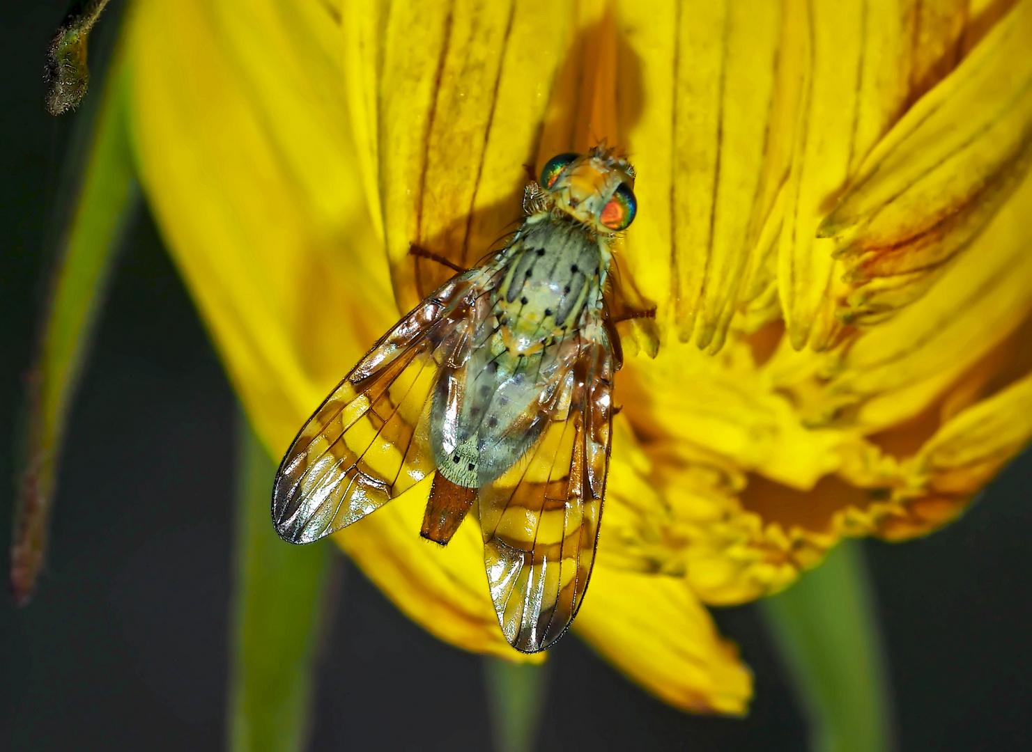 Chaetorellia jaceae: eine Bohrfliege! - Une Téphritide.