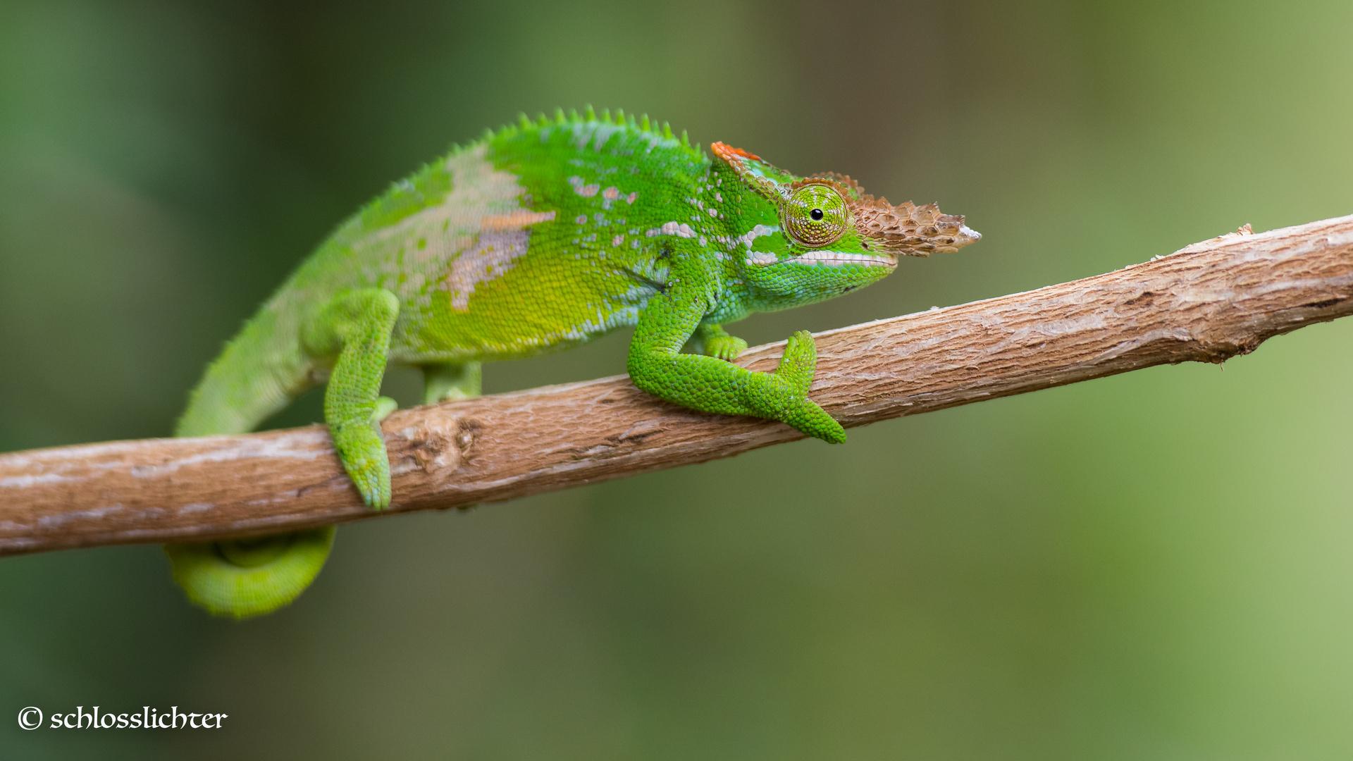 chamäleon foto  bild  tiere wildlife amphibien