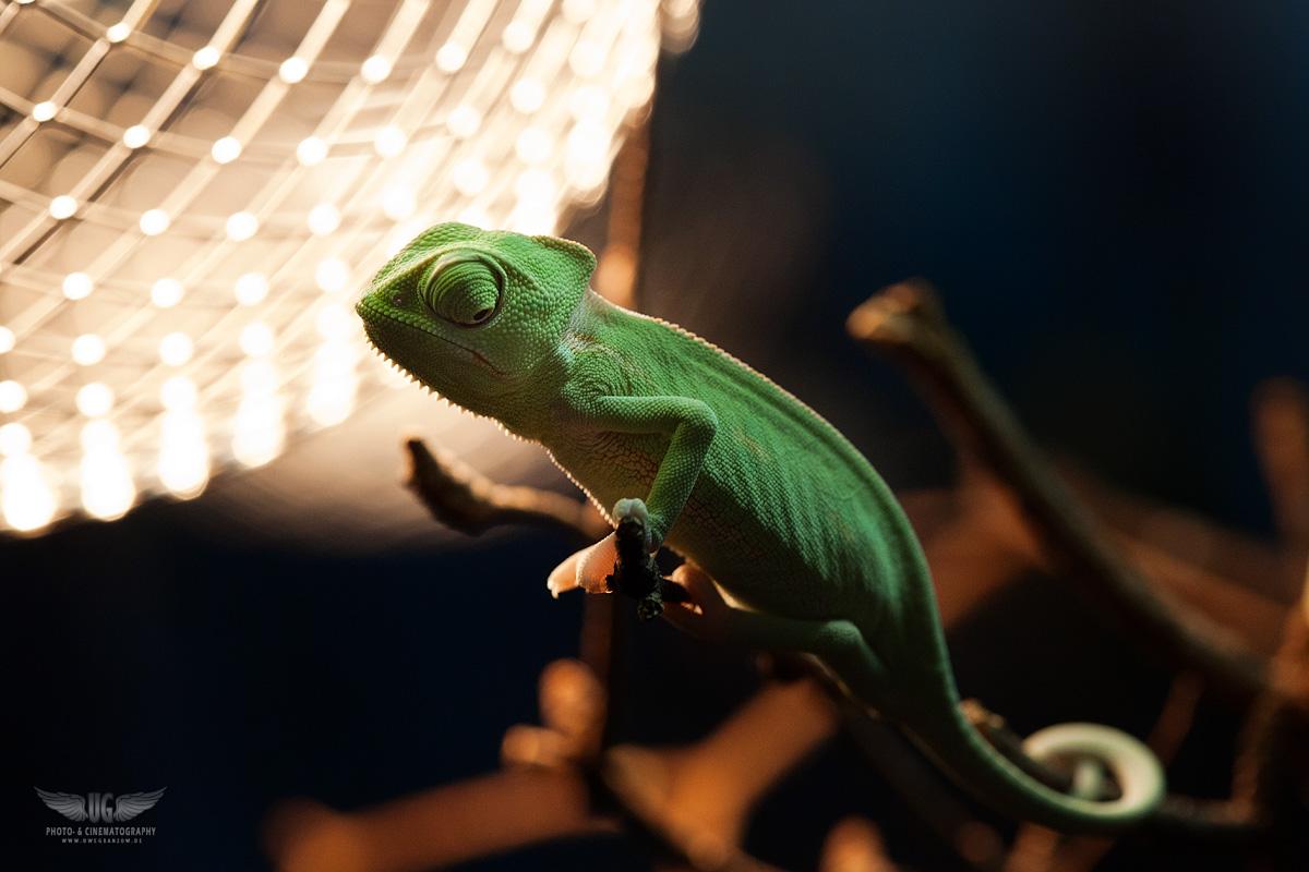 Chamäleon im Lichterglanz ;-)