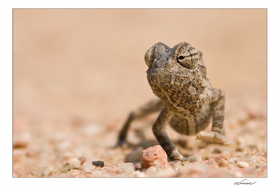 Chamäleon (Namibia)
