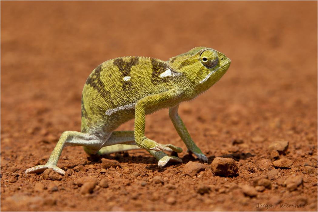 Chamäleon - Zambia