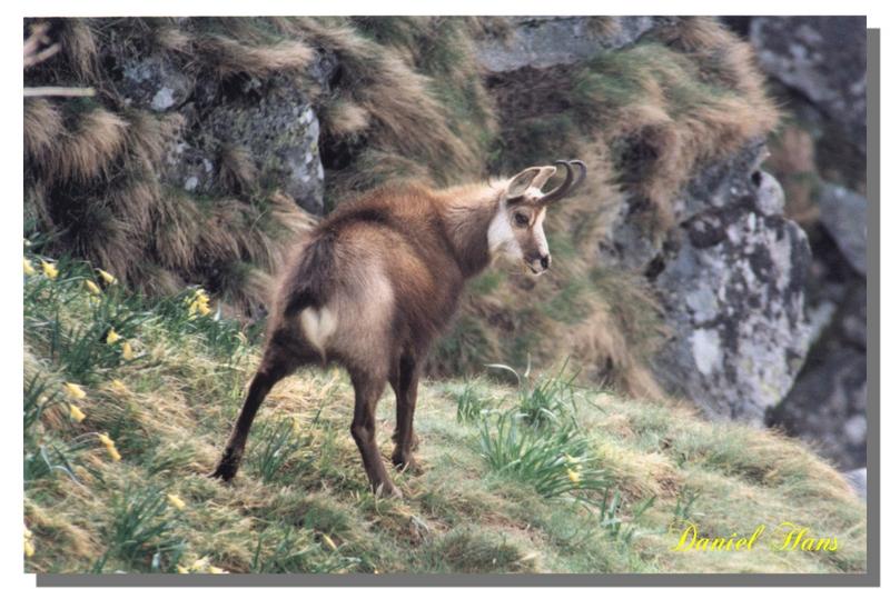 chamois surpris au petit matin au Hohneck (vosges )