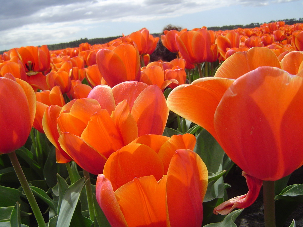 Champ de Tulipes 2