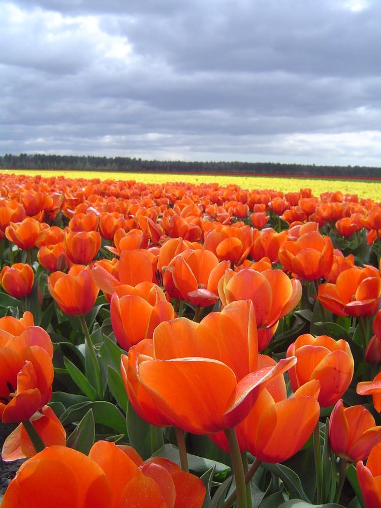 Champ de Tulipes 3