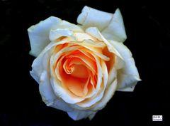 Champagnerfarbene Rose Penny Lane