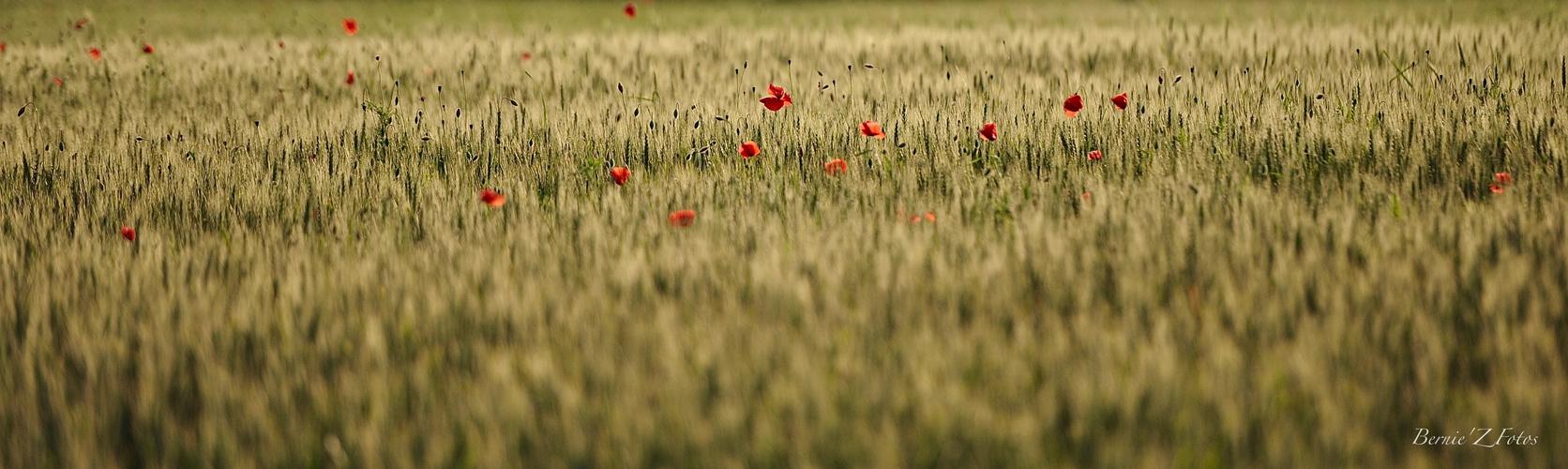 Champs de blé - Kornfeld