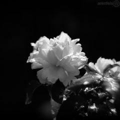 Chandos Beauty im Morgentau #001138